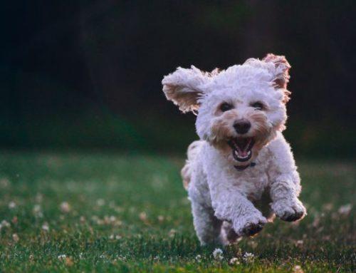 Les verrues chez le chien