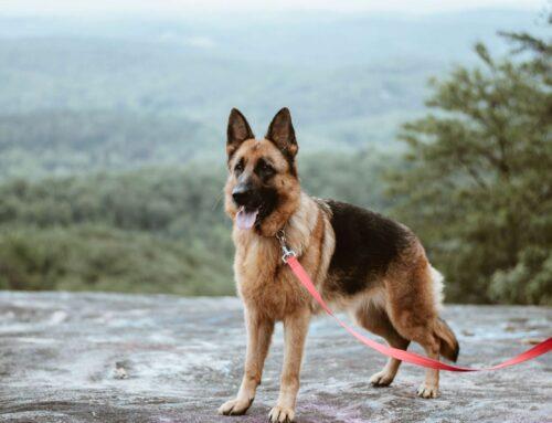 Comment gérer les émotions et l'anxiété  du berger allemand?